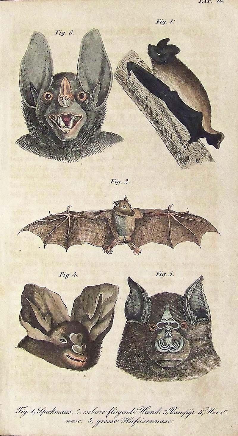 1830 ANTIQUE BAT PRINT c chauve souris pipistrelle vampire original antique hand colored print of flying bats by Buffon Cuvier