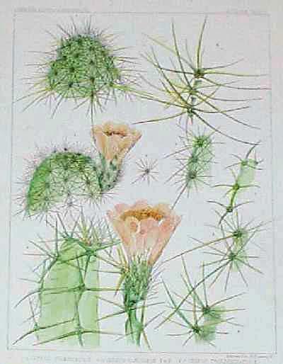prints old rare cactus antique maps prints