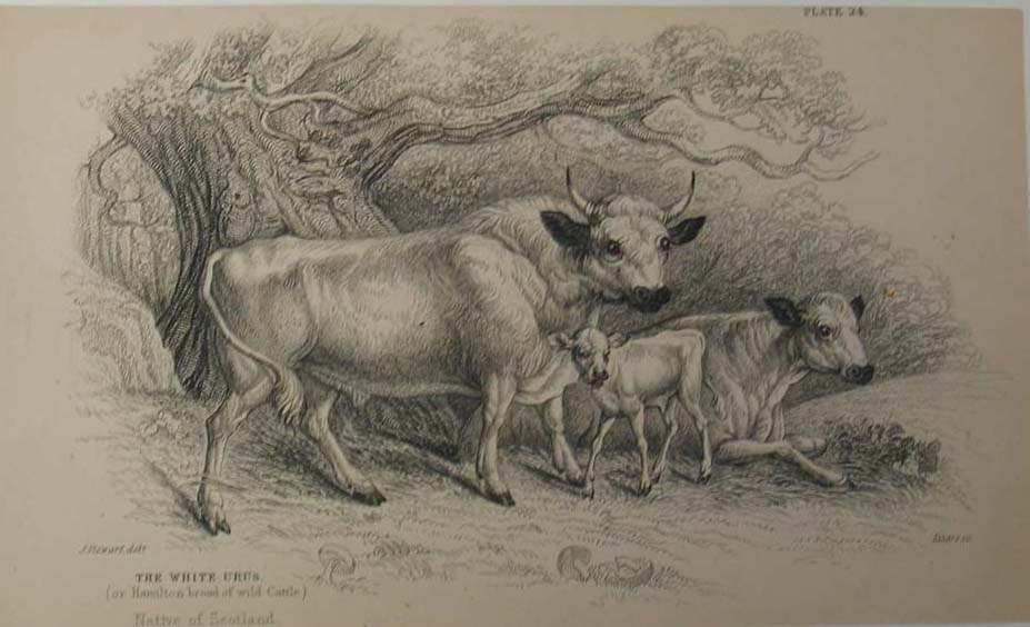 Antique Print - Note the Horned Bull and the Polled Cow