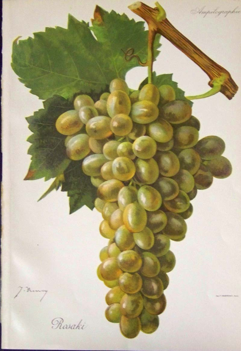 Wine grapes - Table grapes vs wine grapes ...
