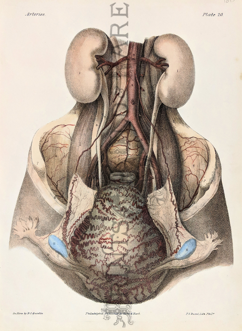 vintage poster with pictures about gallbladder omentum epiploon intestines 9x12 22x30c re Anatomy print of old antique anatomical plate
