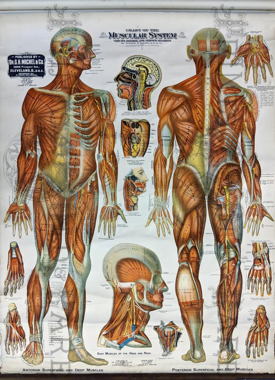 Of The Torso Diagram Muscles Of The Torso Human Anatomy Diagram