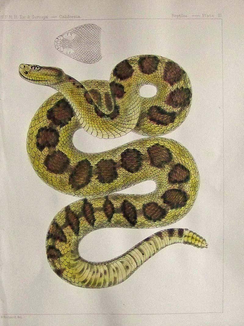 017rtl prints old & rare reptiles & amphibians antique maps & prints